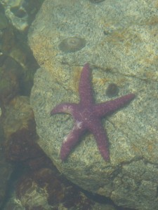 Starfish Surrounded by Limpets
