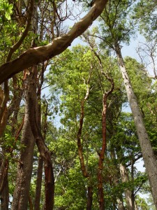 Tall Arbutus Trees at Francis Point